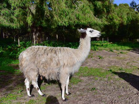 Adult domesticated llama in a farm in Western Australia