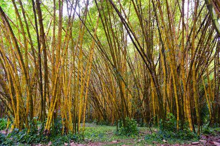 kauai: Golden bamboo in Kauai Island, Hawaii Stock Photo