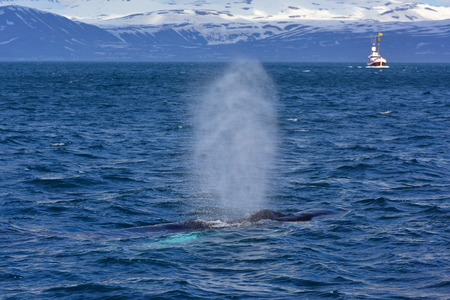 big fin: Humpback whale swimming off the coast of Husavik, Iceland Stock Photo