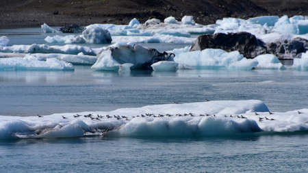 golondrinas: Flock of swallows resting on an iceberg at Jokulsarlon Glacier Lagoon in Iceland