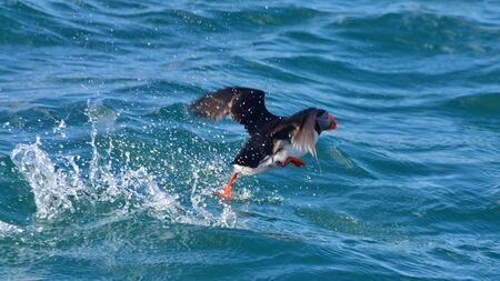 puffin: Puffin taking off from the sea in Iceland