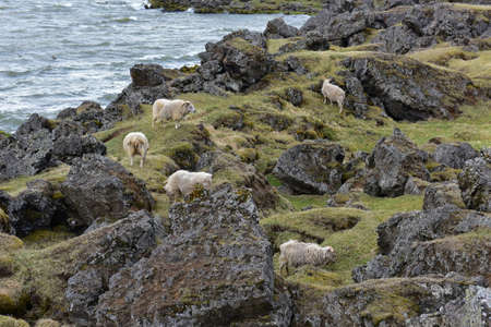 gazing: Sheeps gazing on the rock bank of Lake Myvatn, Iceland
