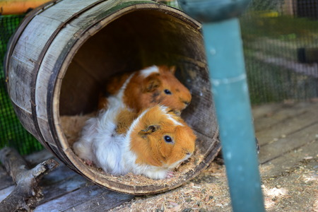 cavie: Guinea pigs in a botanical garden in Okinawa, Japan