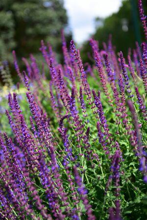 melbourne australia: Purple Salvia plants found in Melbourne, Australia
