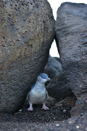 st kilda: Little penguin at St Kilda Pier in Victoria, Australia