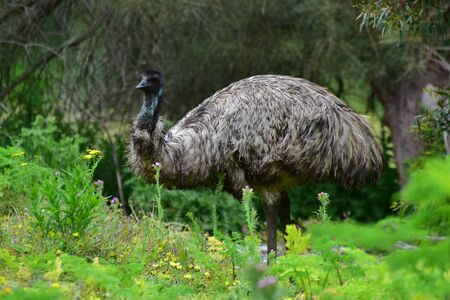emu: Wild emu at Tower Hill Wildlife Reserve in Victoria, Australia