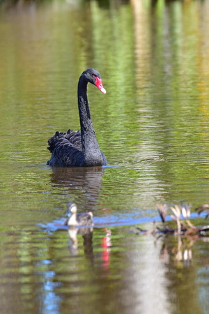Black swan swimming in a lake in Travis Wetland Nature Heritage Park in Christchurch, New Zealand