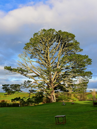 MATAMATA, NEW ZEALAND - AUGUST 2017: Large oak tree in Hobbiton movie set featured in Lord of the Rings and Hobbit movies on August 27, 2017 in Matamata