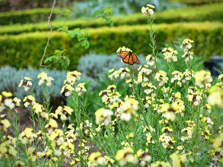 Butterfly and yelllow wallflowers blooming in spring in Hamilton Gardens, New Zealand