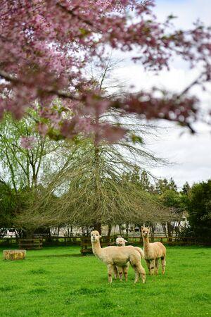 Sakura cherry blossom and llamas in a garden in Hamilton, New Zealand