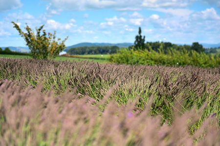 Lavender flowers blooming in late summer in Waikato, New Zealand 写真素材