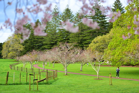 Sakura flowers blossoming in spring at Cornwall Park, Auckland in New Zealand