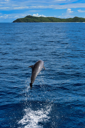Wild dolphin leaping out of the ocean in Fiji