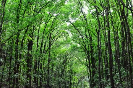 Man-made Mahogany forest of Loboc and Bilar at Bohol, Philippines