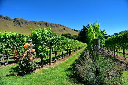 A vineyard in Hastings, Hawkes Bay in New Zealand