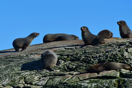 A colony of wild New Zealand fur seals on an island at Doubtful Sound, New Zealand