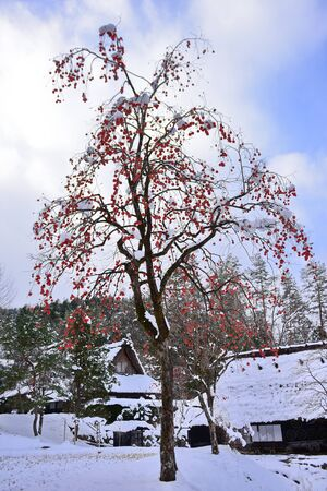 Bright orange kaki (persimmons) growing on a tree in winter at Takayama in Japan