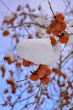 Bright orange kaki (persimmons) growing on a tree in winter at Takayama, Gifu in Japan