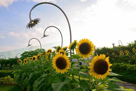 Blooming sunflowers in Changi Airport Terminal 2 sunflower garden Stock Photo