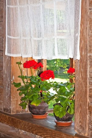 geranium color: Geranium plant on a wooden window sill in a country house