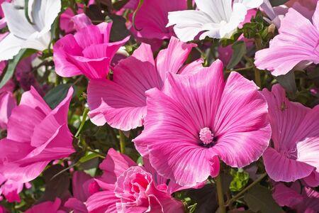 pink and white petunias flowers   photo