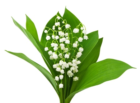 beautiful lilies of the valley isolated on white photo