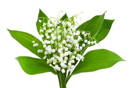 lily of the valley: beautiful lilies of the valley isolated on white