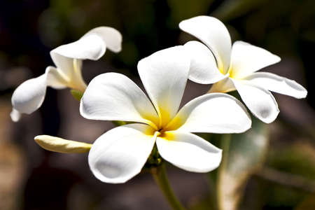 beautiful white frangipani flowers on dark background photo