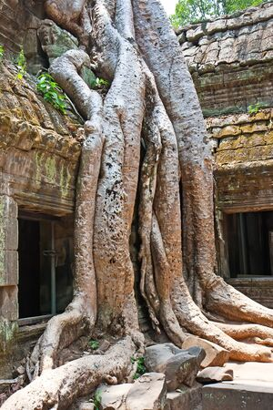 Giant tree growing over the ancient ruins of Ta Prohm temple in Angkor Wat, Siem Reap, Cambodia photo