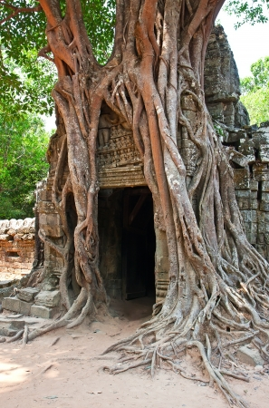 siem reap: Giant tree growing over the ancient ruins of Ta Prohm temple in Angkor Wat, Siem Reap, Cambodia Stock Photo