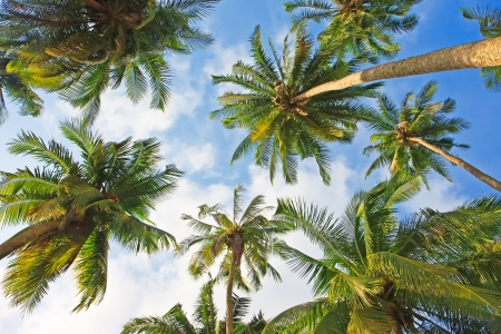 Coconut palm trees perspective view Imagens