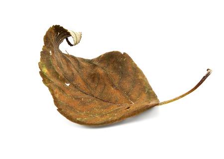 dode bladeren: Droog blad geïsoleerd op een witte achtergrond Stockfoto