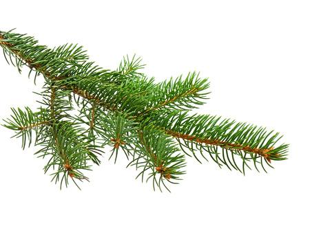spar: Tak van de kerstboom op een witte achtergrond