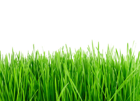 blades of grass: green grass isolated on a white background