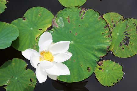 lotus flower on the water photo