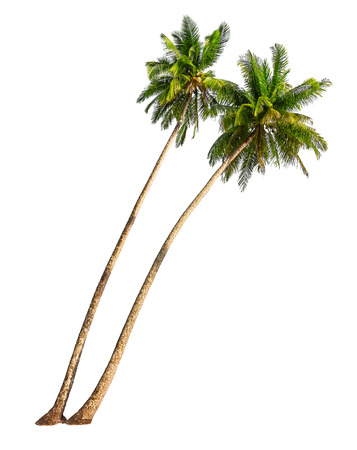 tree vertical: Coconut palm trees isolated on a white