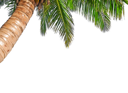 tree vertical: Coconut palm tree isolated on a white background