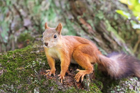 red squirrel: Brown squirrel