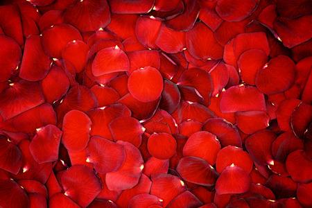 아름 다운 빨간 꽃잎 장미 배경