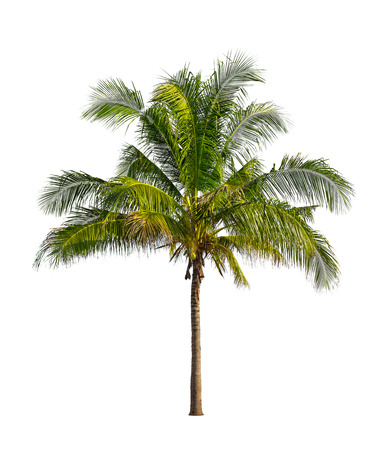 coconut trees: Coconut palm trees isolated on a white background