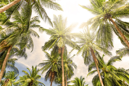 coconut trees: Coconut palm trees perspective view Stock Photo