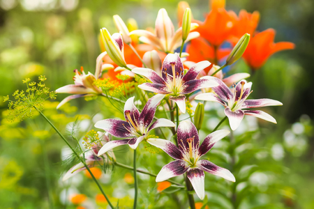 Purple and white lily flowers in the garden against the blurred green, yellow and orange background. Stock Photo - 77728549