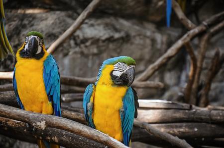 Blaue und gelbe Aras, die auf dem Zweig sitzen. Nahaufnahme