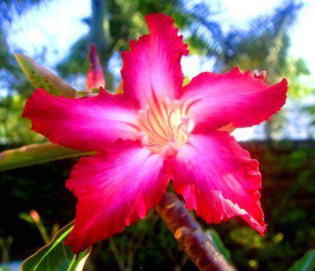 Colorfull of desert rose