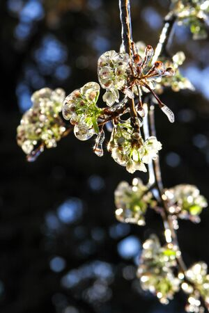 An unusual ice storm hits Kansas during the spring, covering emerging plant life with a sheet of ice. Stock Photo - 126037744