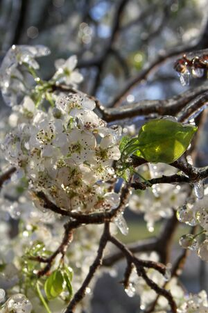 An unusual ice storm hits Kansas during the spring, covering emerging plant life with a sheet of ice. Stock Photo - 126037760
