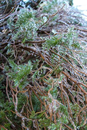 An unusual ice storm hits Kansas during the spring, covering emerging plant life with a sheet of ice. Stock Photo - 126035426