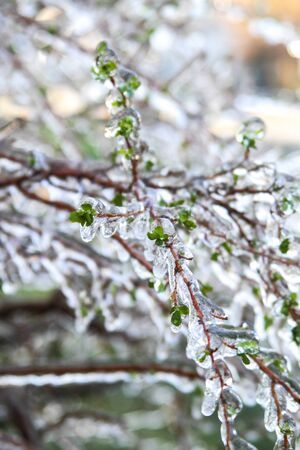 An unusual ice storm hits Kansas during the spring, covering emerging plant life with a sheet of ice. Stock Photo - 126035438