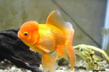 Oranda Fancy Goldfish with Wen swimming in Fish Tank Home Aquarium Stock Photo