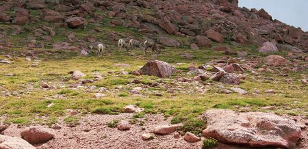 Mountain goat at high elevation on an summer or spring day Stock Photo